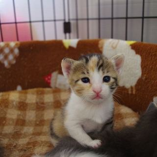 将来美人の縞三毛の子猫さん