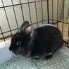 生後9ヶ月のミニウサギ