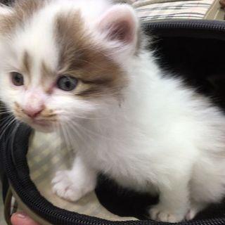 【募集一時停止中!】★生後1か月の長毛子猫★