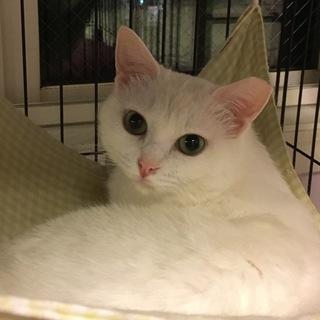 美猫白猫シロちゃん❤︎グリーンの瞳♀❤︎先住OK