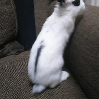 2月26日生まれミニウサギ