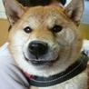 柴犬こてつくん♂1~2歳位・京都市から里親さん募集中