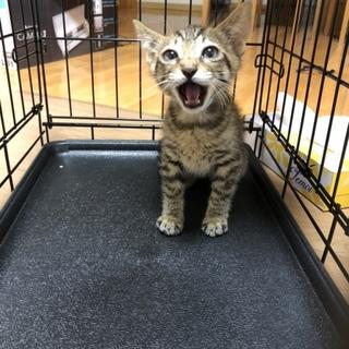 キジトラの子猫の里親さん募集です。