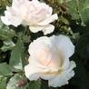 マーガレットメリル 「メリル!名前のバラは綺麗に咲きましたよ〜」