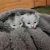 育児放棄されたっぽい子猫2匹(野良)の里親募集