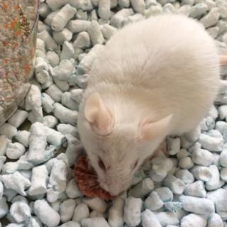 ファンシーマウス(カラーマウス)