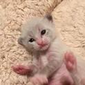 4月20日生まれ!元気な子猫「咲ちゃん」