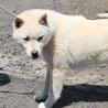 ショータイプの紀州犬 血統書付 応募多数のため停止 サムネイル2