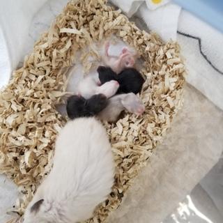 ゴールデンハムスター赤ちゃん2匹
