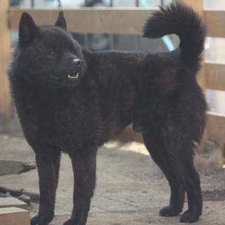 純血甲斐犬3