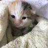 生後すぐの三毛ネコです。