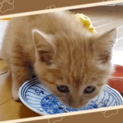 離乳食を食べるうちの茶トラ猫です