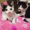 白黒ハチワレ子猫の兄妹