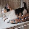 人間大好き甘えん坊の三毛猫「あや」ちゃん サムネイル4