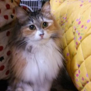 三毛長毛!美猫で子猫みたいな☆『みけちゃん♪』