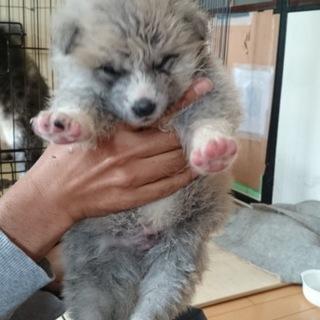 秋田犬の赤ちゃんの里親を募集いまします。