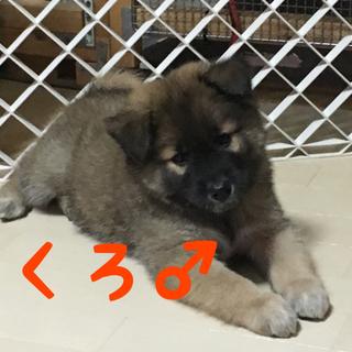 モコモコの子犬2ヶ月 トライアル中
