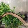 ジャワヤスリヘビの里親募集です。