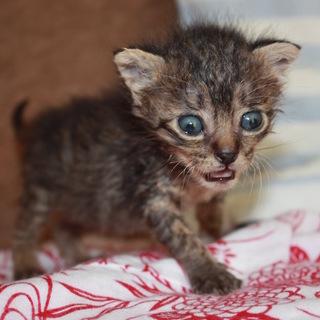 かわいい赤ちゃんキジトラのぞみちゃん離乳中
