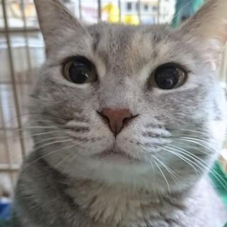 【プーアル】きれいなグレーの美猫さん