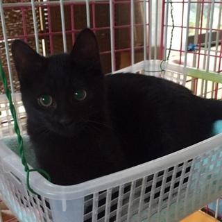 おめめクリクリの黒子猫
