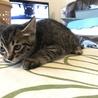 物置で産まれた兄弟猫 賢くて活発なリッキー! サムネイル6