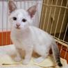 まもなく生後2ヶ月の子猫の里親様を探しています。