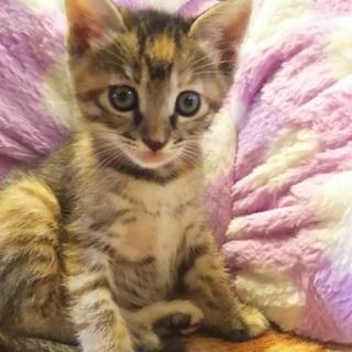 慣れ慣れのきじ美猫 2兄妹 2ヶ月 りおちゃん