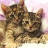 慣れ慣れのきじ美猫 2兄妹 2ヶ月 りおちゃん サムネイル2