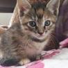 慣れ慣れのきじ美猫 2兄妹 2ヶ月 りおちゃん サムネイル3