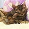 慣れ慣れのきじ美猫 2兄妹 2ヶ月 りおちゃん サムネイル5
