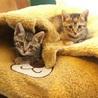 慣れ慣れのきじ美猫 2兄妹 2ヶ月 りおちゃん サムネイル7