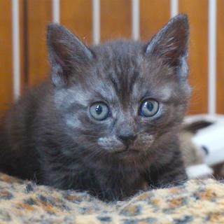 4月4日生まれの子猫ちゃん♪(グレーの縞)