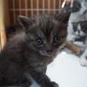 4月4日生まれの子猫ちゃん♪(グレーの縞) サムネイル2