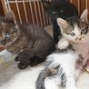 4月4日生まれの子猫ちゃん♪(グレーの縞) サムネイル3