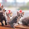 4月4日生まれの子猫ちゃん♪(グレーの縞) サムネイル4