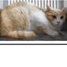 里親様を待っています。成猫♂茶白 サムネイル2