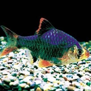 グリーン・スマトラ 成魚(一年)1匹