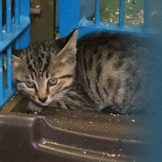 助けて下さい!2ヶ月くらいの仔猫です。