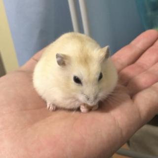 【急募】生後3ヶ月のハムスター