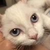 ブルーアイのMIX猫ちゃん