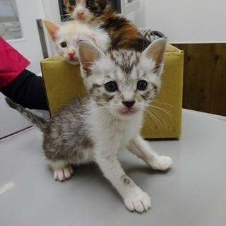 シルバータビー&ホワイトの仔猫
