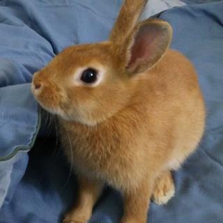 ミニウサギのメスの里親募集!