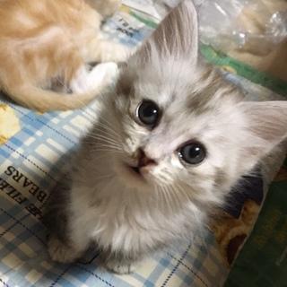 黒猫♀、ふわふわグレー♂♀、クリームアメショ♂
