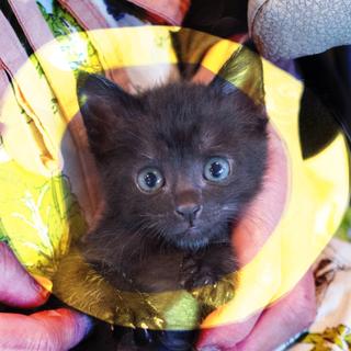 2ヶ月乳飲子から育てた甘えん坊黒猫♡2匹応募限定