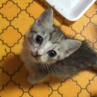 サバトラグレー白ソックス♀生後1ヶ月