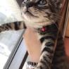 可愛いキジ猫ちゃん メス 1.5ヵ月 神戸