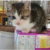 美猫イケメンな男の子 生後1ヶ月