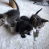 大至急!!!!子猫3匹の里親さん探してます!!!