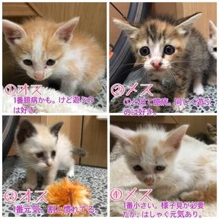 【トライアル可】子猫4匹保護しました